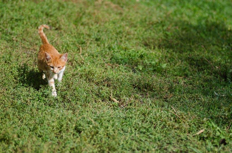 Kitten walking on the grass stock photo
