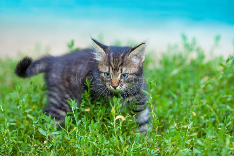 Kitten walking in the grass royalty free stock photography