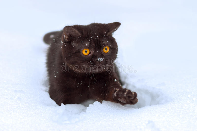 Kitten walking in the snow royalty free stock images