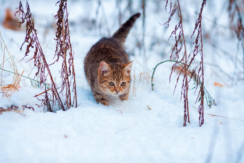 Kitten walking in the snow royalty free stock photography
