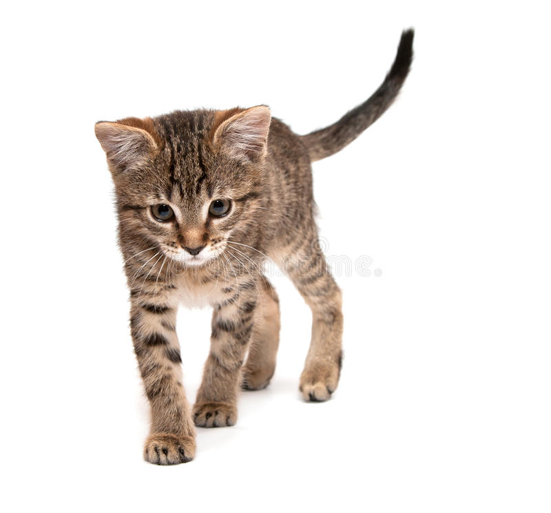 Kitten walks royalty free stock image