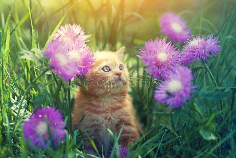Kitten walks on the floral lawn. Cute little red kitten walks on the floral lawn stock photos