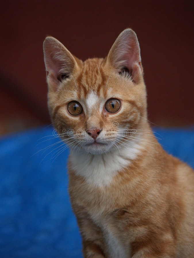 Kitten watches closely stock photography
