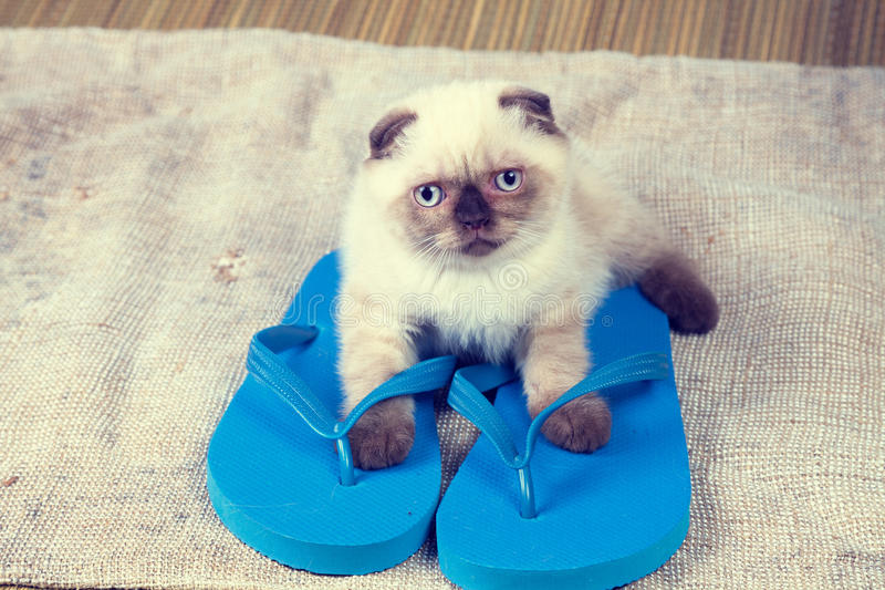 Kitten wearing flip flops sandals. Summer scene. Little kitten wearing flip flops sandals royalty free stock photos