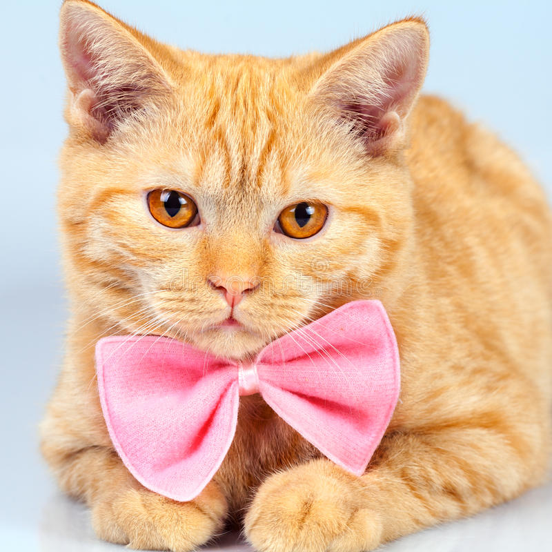 Kitten wearing pink bow tie royalty free stock photography