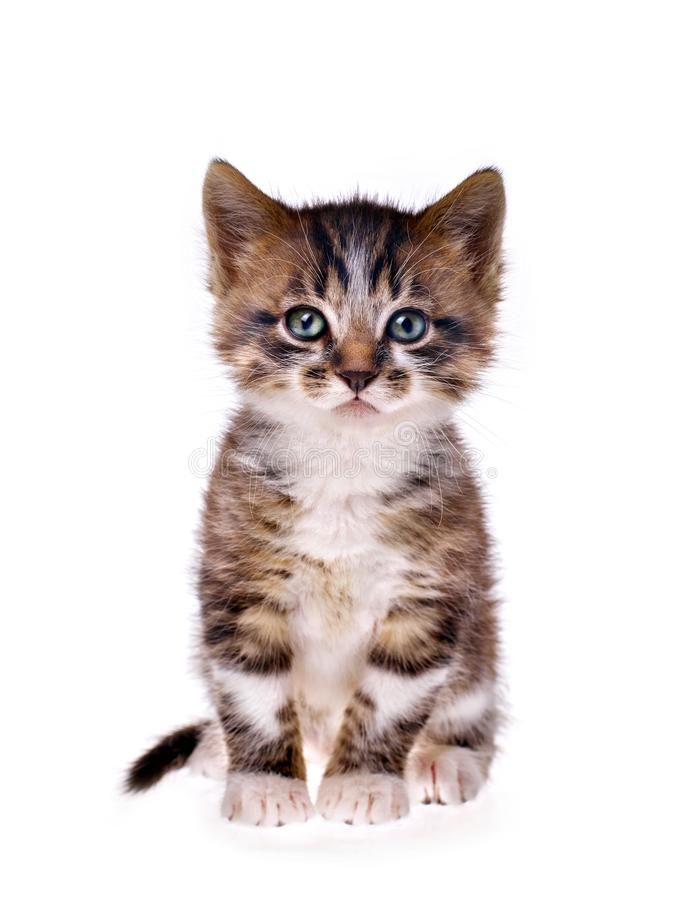 Kitten on white background royalty free stock photography