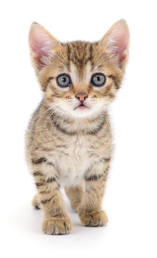 Kitten on white background royalty free stock image