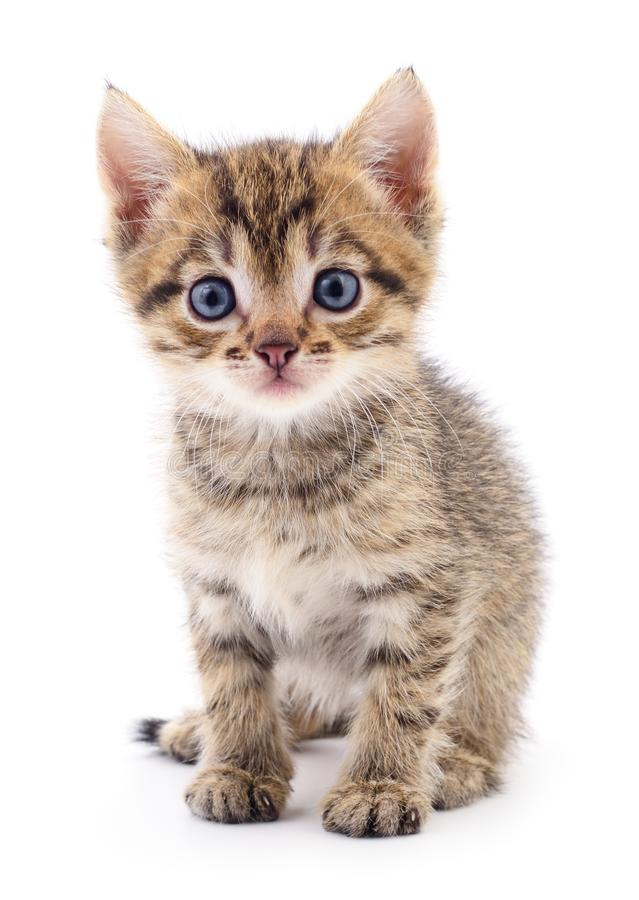 Kitten on white background. royalty free stock images