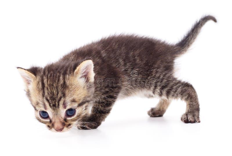Kitten on white background. royalty free stock image