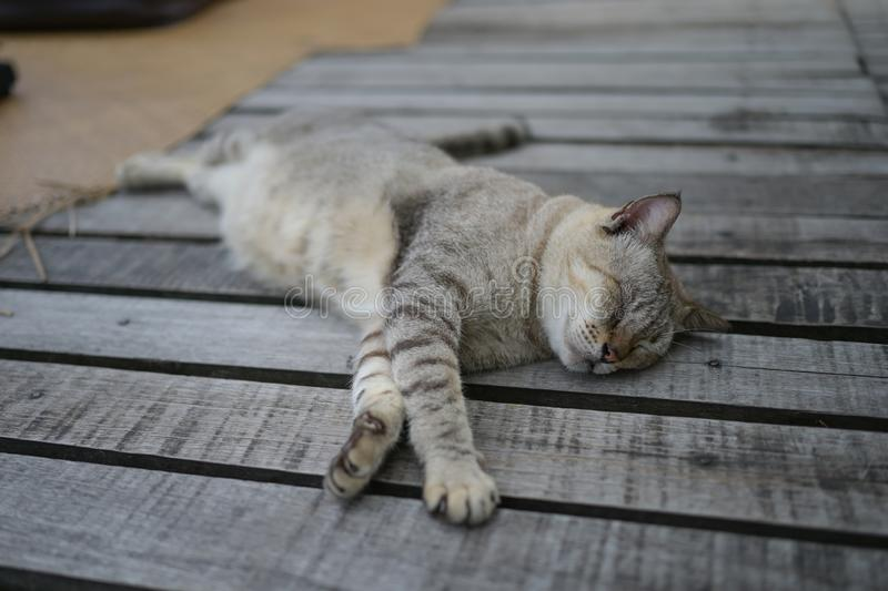 Kitten or young gray cat sleeping on wooden way look lazy and cute stock image