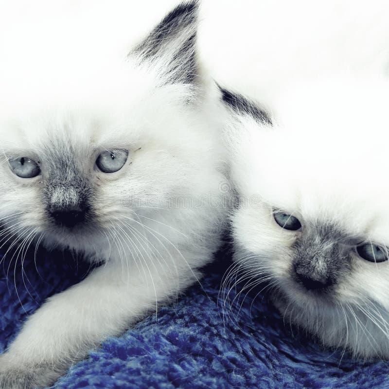 kittens fotografie stock
