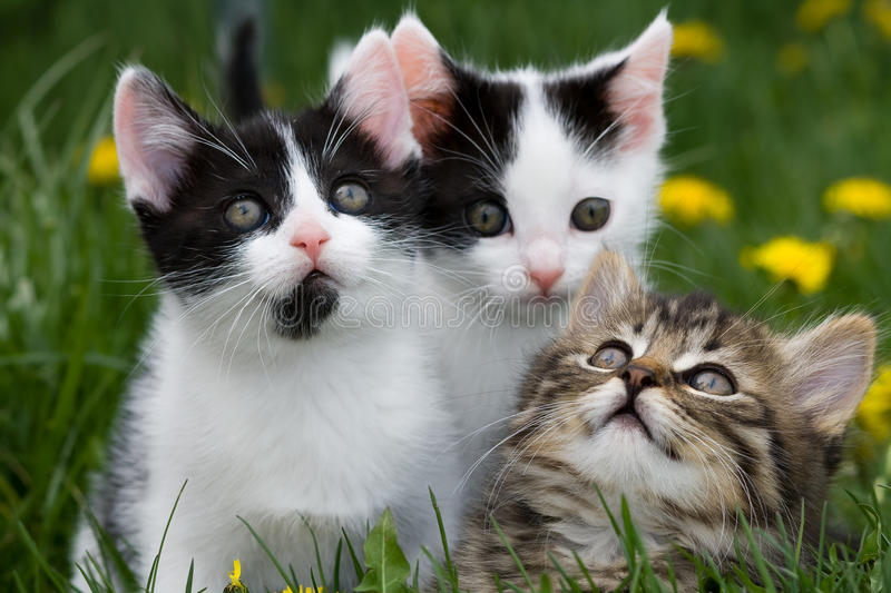 Kittens. A horizontal picture of three adorable little kittens in the grass with two of them looking upward while the other looks straight ahead. One kitten is