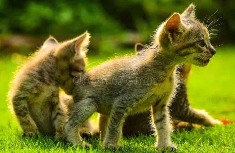 kittens fotografia stock libera da diritti