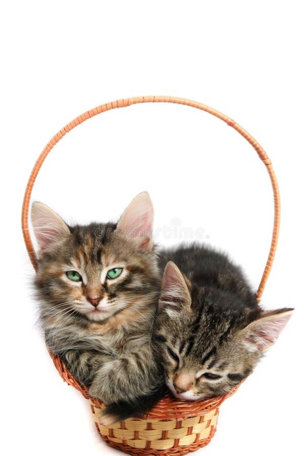 Kittens in basket royalty free stock photos