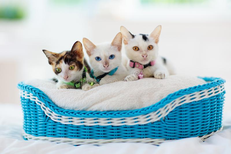 Kittens in basket. Baby cats at home. Little cat stock images