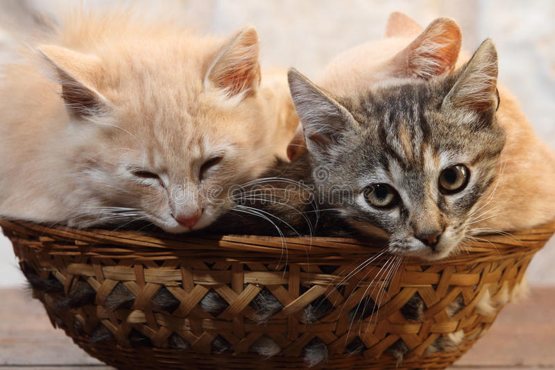 Kittens in the basket stock image