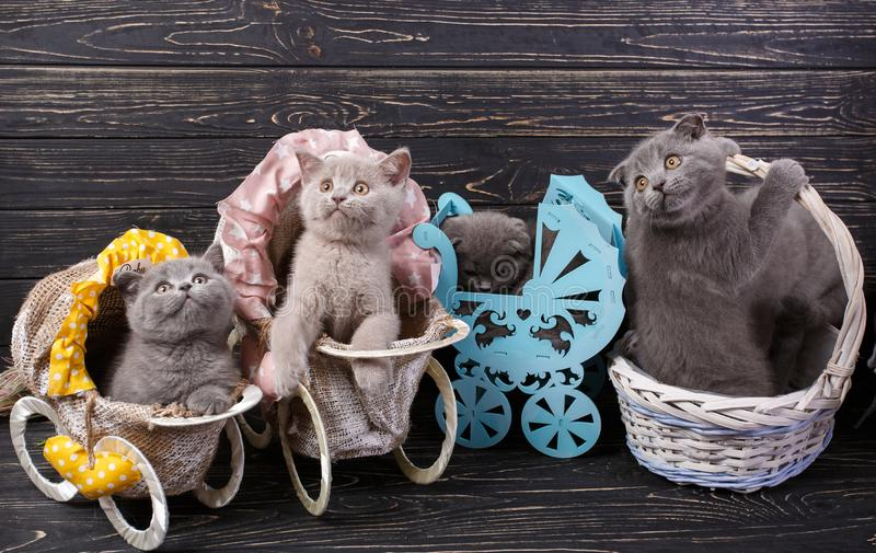Kittens in a basket and decorative carriages. Scottish straight and scottish fold kittens. Kittens in a basket and decorative carriages. Purebred Kittens at the stock image