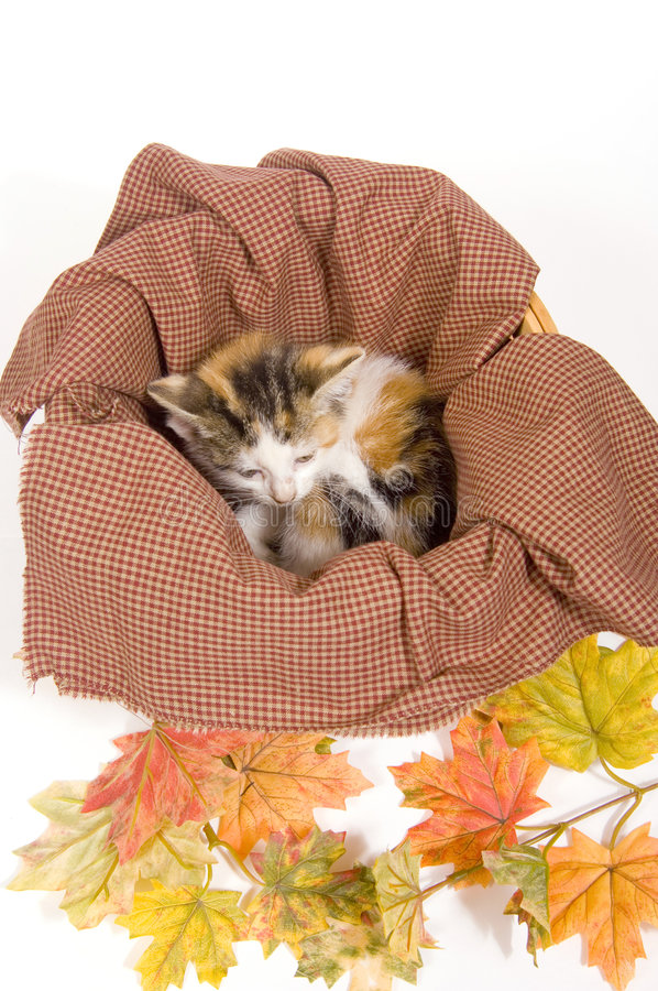 Kittens in a basket with fall leaves stock images