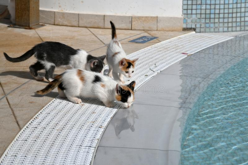 Kittens drink water from the pool outside stock photography
