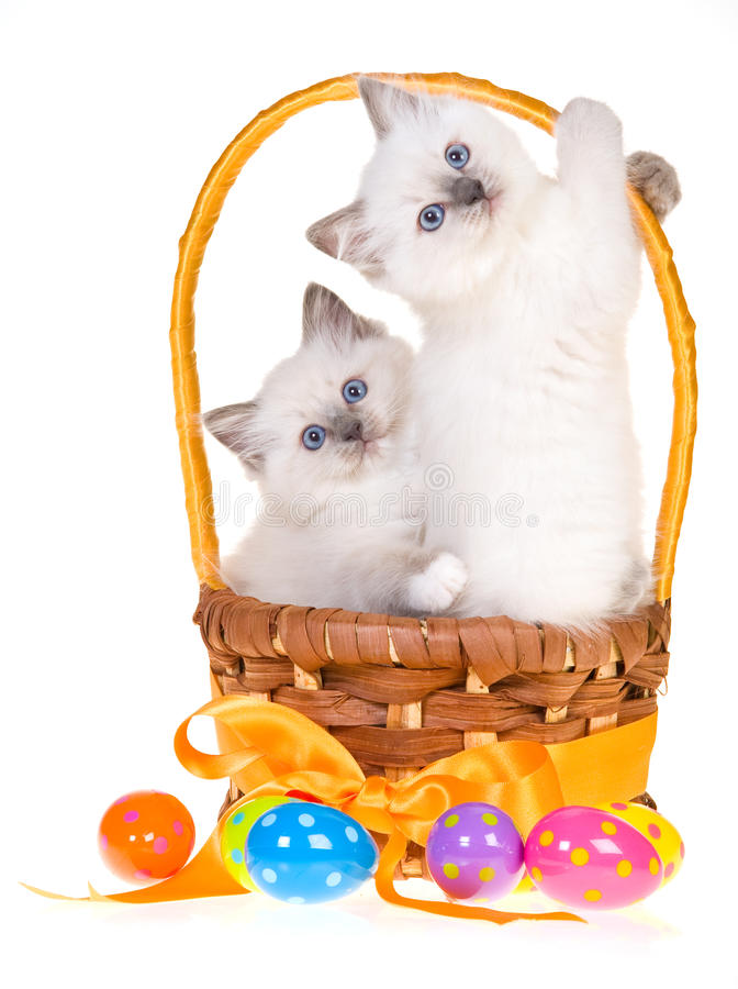 Kittens with easter eggs on white background stock image