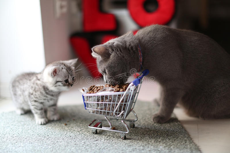 Kittens eating from a shopping cart with pet food. British Shorthair kitten and mother cat eating from a shopping cart full of pet food, cat food stock photo