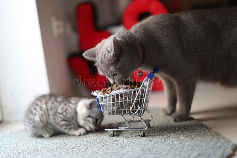 Kittens eating from a shopping cart with pet food. British Shorthair mother and kittens eating from a shopping cart full of pet food, cat food stock images