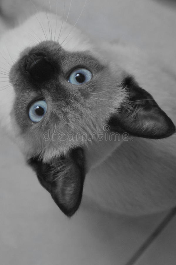 Kittens eyes royalty free stock photo