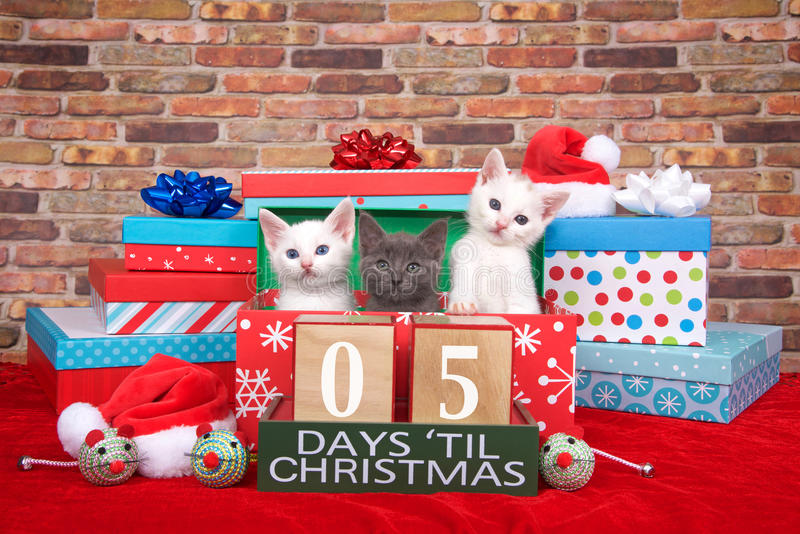 Kittens five days til Christmas. Two fluffy white and one gray kitten popping out of a pile of presents, small santa hats, toy mice and count down to Christmas royalty free stock photo