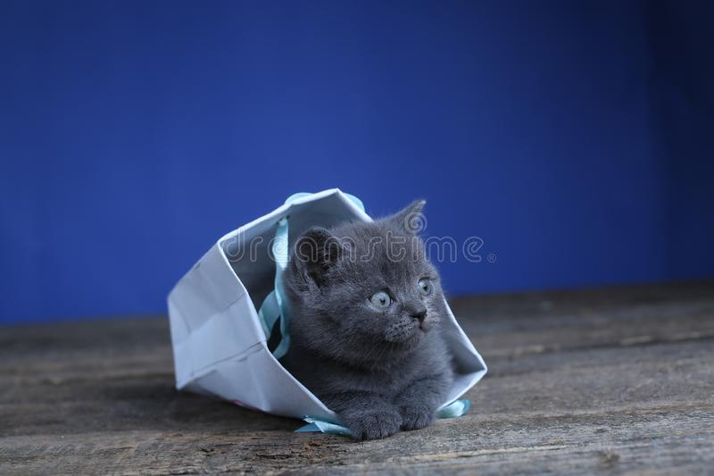 Kittens getting out of a bag. British Shorthair kittens sitting in a gift bag, wooden background stock images