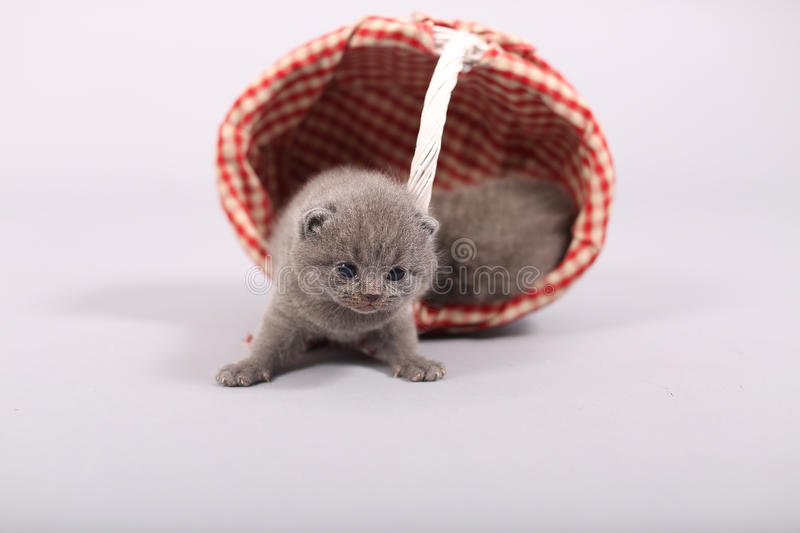 Kittens getting out of a basket. Small British Shorthair kittens in a fashionable basket stock photography