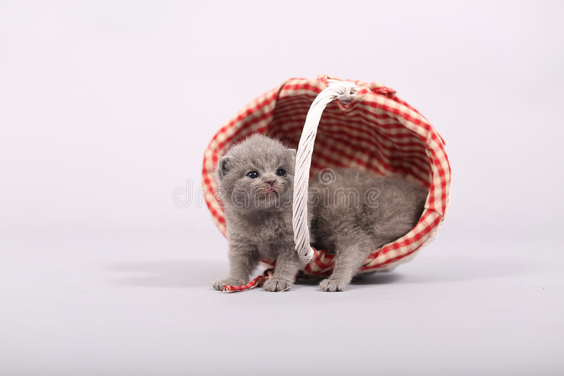 Kittens getting out of a basket. Small British Shorthair kittens in a fashionable basket royalty free stock image