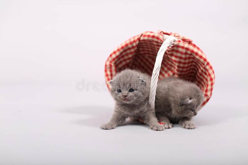 Kittens getting out of a basket. Small British Shorthair kittens in a fashionable basket stock photos