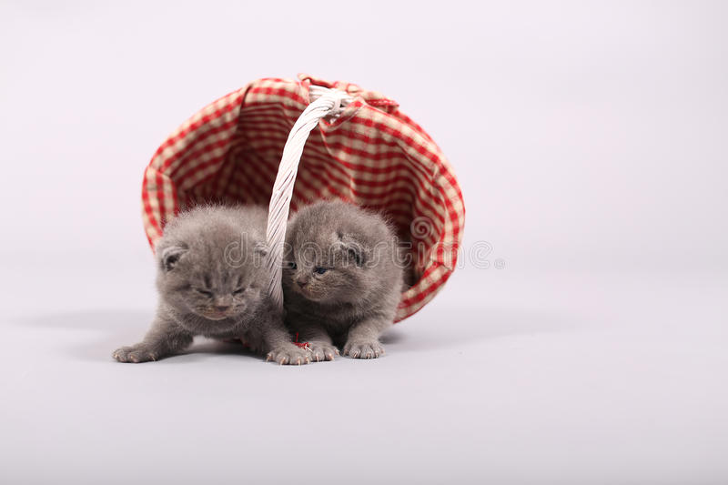 Kittens getting out of a basket. Small British Shorthair kittens in a fashionable basket royalty free stock photos