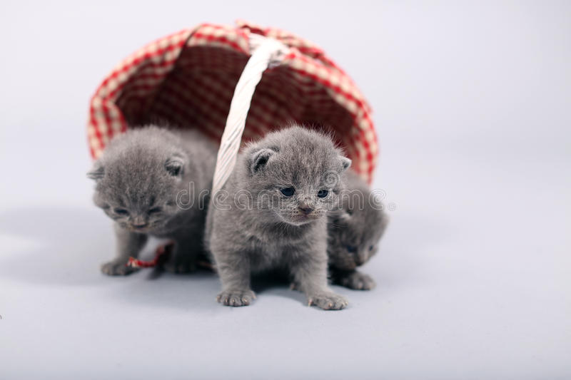 Kittens getting out of a basket. Small British Shorthair kittens in a fashionable basket stock images
