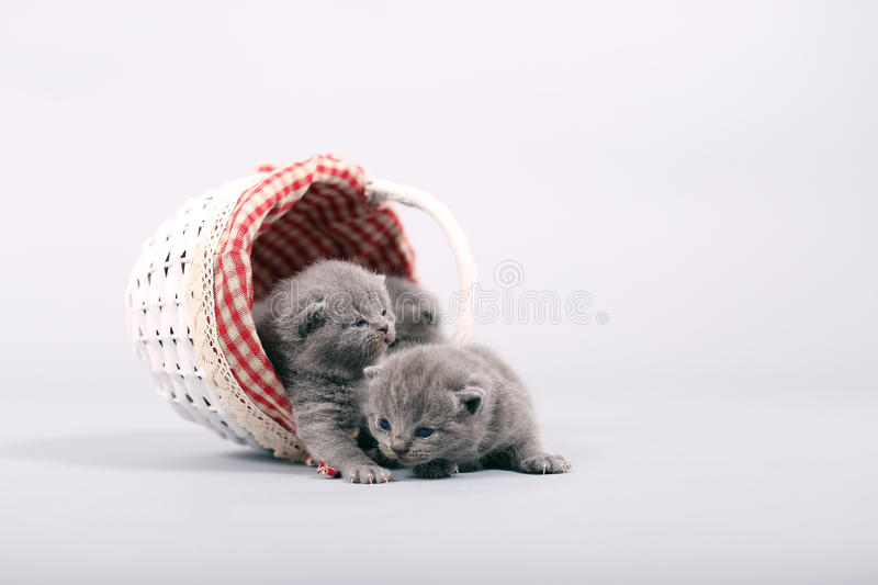 Kittens getting out of a basket. Small British Shorthair kittens in a fashionable basket stock image