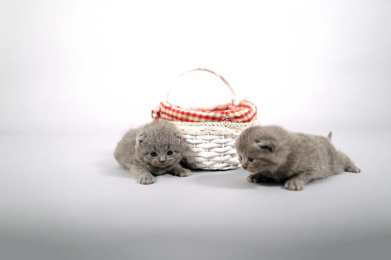 Kittens getting out of a basket. Small British Shorthair kittens in a small basket royalty free stock images