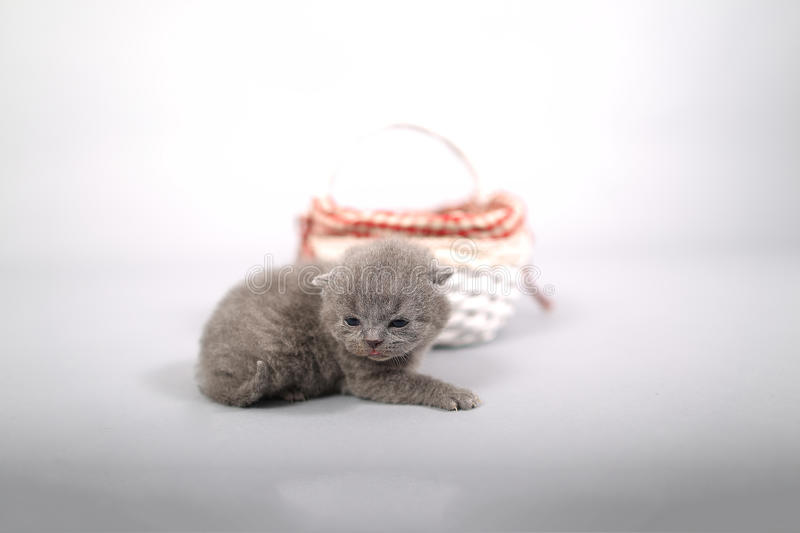 Kittens getting out of a basket. Small British Shorthair kittens in a small basket stock photos