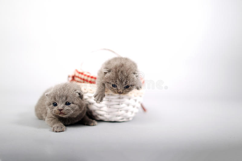 Kittens getting out of a basket. Small British Shorthair kittens in a small basket stock images