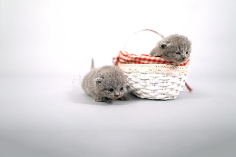 Kittens getting out of a basket. Small British Shorthair kittens in a wooden basket stock photos