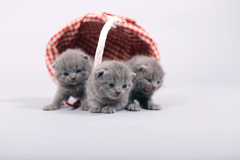 Kittens getting out of a basket. Small British Shorthair kittens in a wooden basket royalty free stock photos