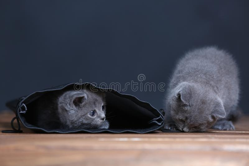 Kittens getting out of a leather bag. British Shorthair kittens in a black bag, isolated portrait, wooden floor royalty free stock photo