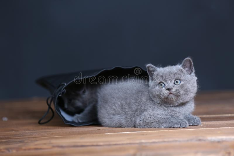 Kittens getting out of a leather bag. British Shorthair kittens in a black bag, isolated portrait, wooden floor stock photography