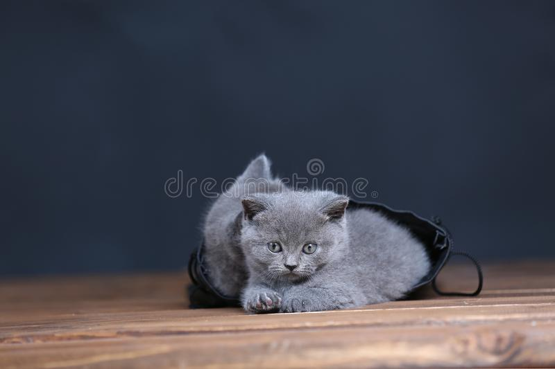 Kittens getting out of a leather bag. British Shorthair kittens in a black bag, isolated portrait, wooden floor royalty free stock image