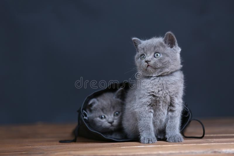 Kittens getting out of a leather bag. British Shorthair kittens in a black bag, isolated portrait, wooden floor royalty free stock photography