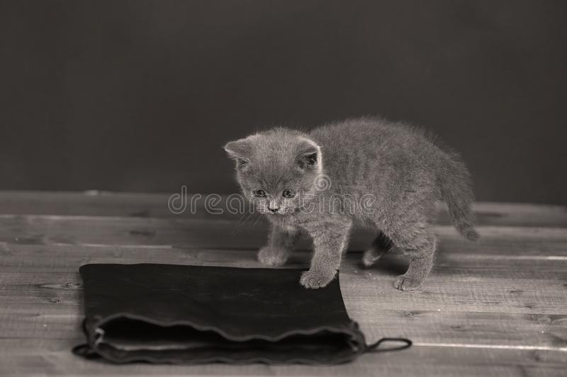 Kittens getting out of a leather bag. British Shorthair kittens in a black bag, portrait, wooden floor royalty free stock images