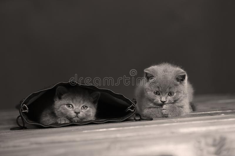 Kittens getting out of a leather bag. British Shorthair kittens in a black bag, portrait, wooden floor royalty free stock photography