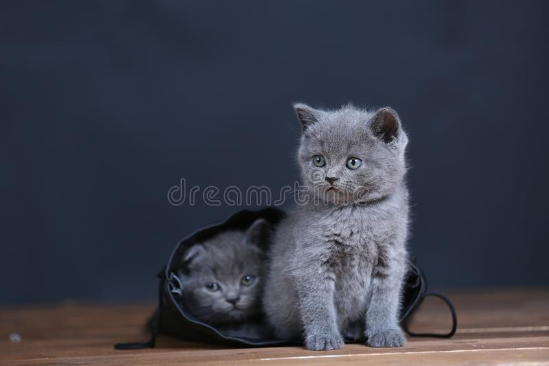 Kittens getting out of a leather bag. British Shorthair kittens in a black bag, isolated portrait, wooden floor stock photo