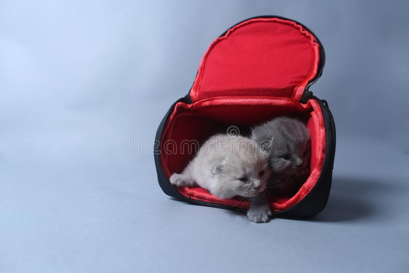 Kittens getting out of a photo camera bag. British Shorthair kittens sit in a photo camera bag, white background stock images