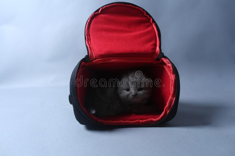 Kittens getting out of a photo camera bag. British Shorthair kittens sit in a photo camera bag, white background stock photo
