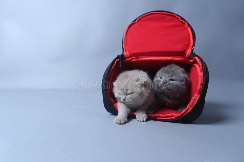 Kittens getting out of a photo camera bag. British Shorthair kittens sit in a photo camera bag, white background royalty free stock images